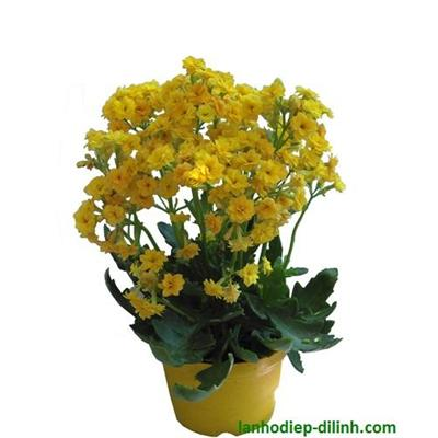 SĐ 008 : Hoa sống đời kép