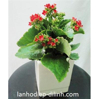 SĐ 009 : Hoa sống đời đơn nhỏ