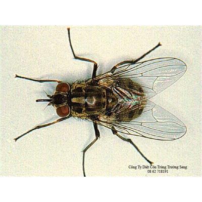 Tác hại của ruồi