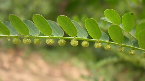 cây chó đẻ - diệp hạ châu